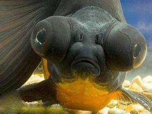 Телескоп - големи аквариумски риби