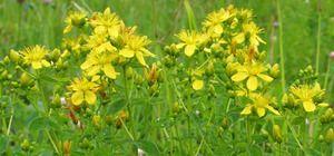 Трева на кантарион: лековити својства и контраиндикации