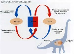Циркулацијата на крвта придонесува за снабдување на органи и ткива со кислород