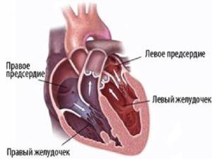 Срцето се состои од преткомора и комори кои ги извршуваат своите функции