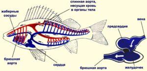 Циркулаторниот систем на риба претпоставува еден атриум и комора