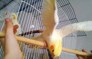 Како изгледа папагалот Corail?