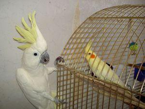 Појавата на папагалите на Corella