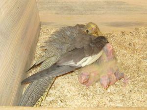 Перјави во папагалите на Corella