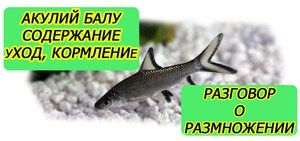 Услови за одржување и репродукција на аквариумски риби од ајкули балу