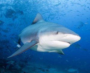 Ајкула бела