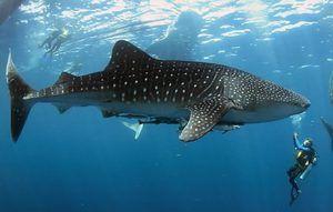 Кит ајкула