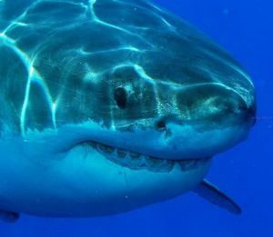 Џуџеста ајкула