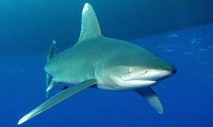Долга крилеста ајкула