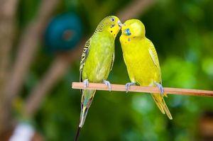 Како да се нахрани брановидни папагали