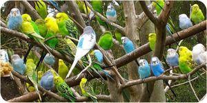 Како да се грижи за брановиден папагал
