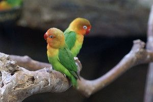 Што влијае врз животниот век на папагалот