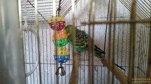 Животниот век на брановидни папагали
