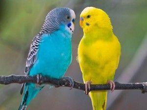 Брановиден папагал-опис