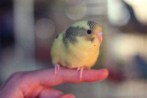 Пилиња на повлажна папагал