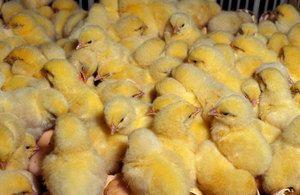 Расте кокошки дома