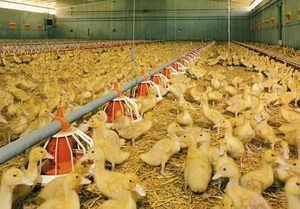 Одгледување на патки за почетници дома
