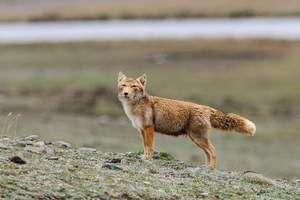 Мистериозен и неверојатен предатор - тибетски лисица