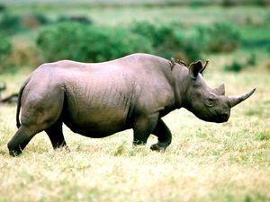 Западен црн носорог и нејзиниот начин на живот