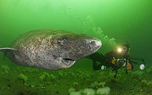 Поларната ајкула во Гренланд - специфично однесување