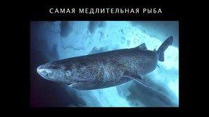 Атлантската поларна ајкула - репродукција
