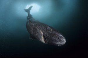 Поларните ајкули живеат до 500 години