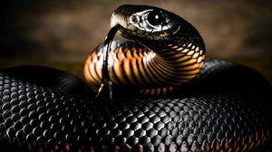 Змија црна мамба: начин на живот и живеалиште