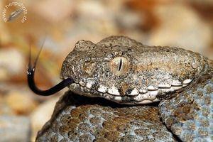 Змија Ѓурѓа - начин на живот, исхрана, репродукција - отровен ѓур