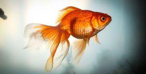 Златна рипка: видови, репродукција, содржина